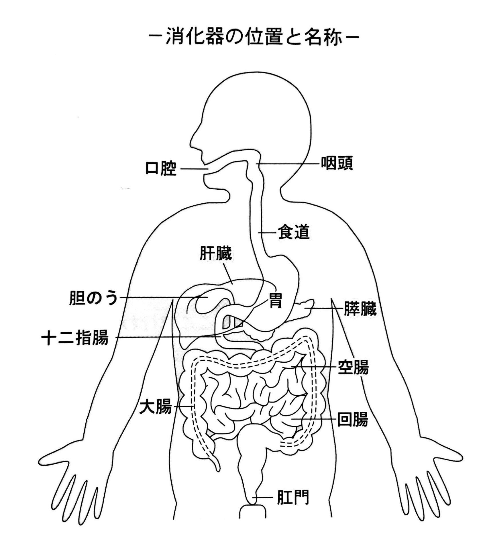 消化 と 吸収 の しくみ